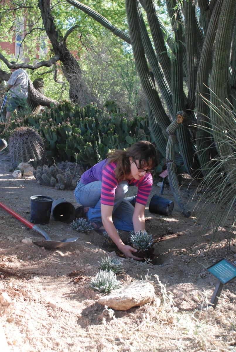 Campus Arboretum Student Worker Tracey Till installing cacti in the JWG.