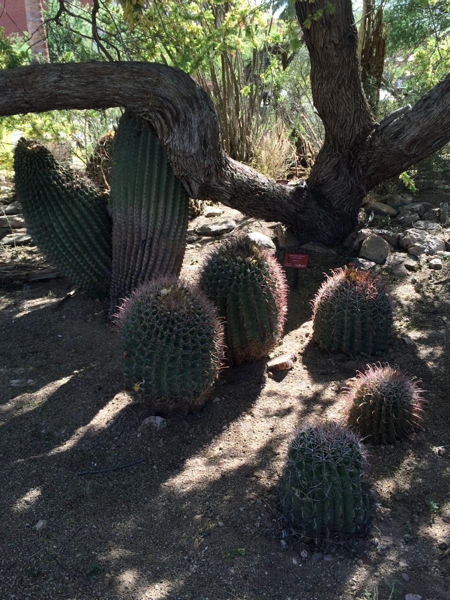 A new set of barrel cacti round out an existing family under the catclaw acacia.