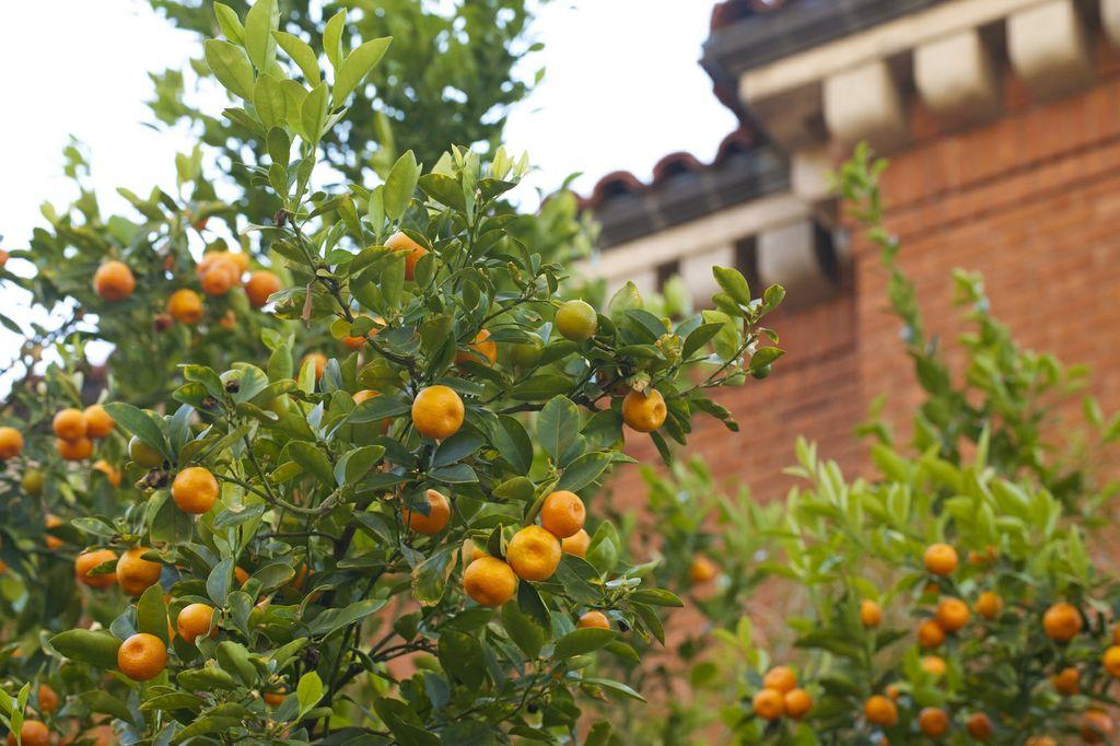 2014 calamondin citrus harvest university of arizona. Black Bedroom Furniture Sets. Home Design Ideas