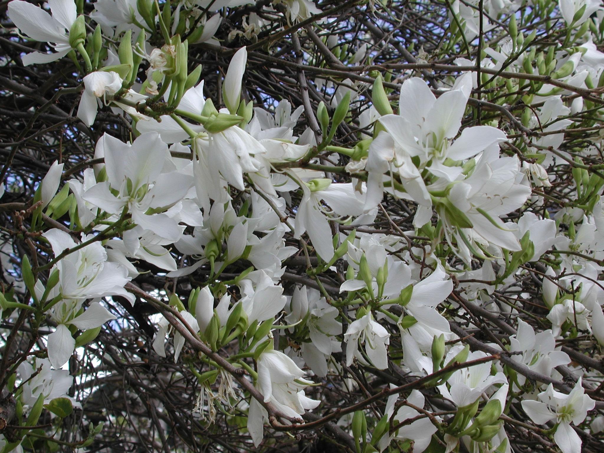 Spring blooms university of arizona campus arboretum bauhinia variegata border style solid padding 5px mightylinksfo
