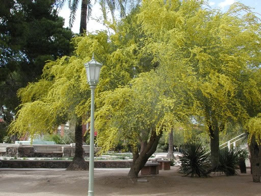 Spring blooms university of arizona campus arboretum parkinsonia florida border style solid padding 5px mightylinksfo