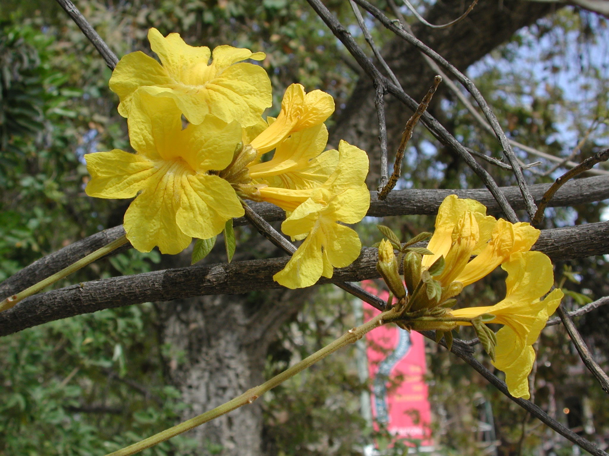 Spring blooms university of arizona campus arboretum tabebuia chrysotricha border style solid padding 5px mightylinksfo Image collections