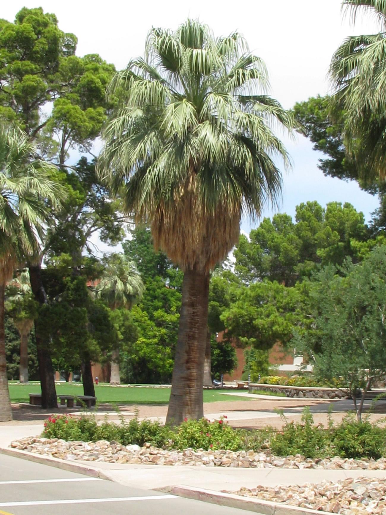 Old Main Tour University Of Arizona Campus Arboretum