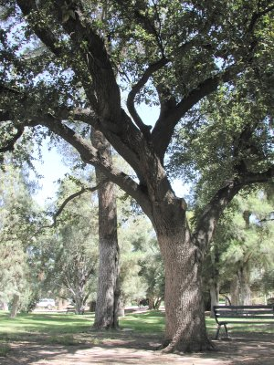 Heritage Trees On The Ua Campus University Of Arizona