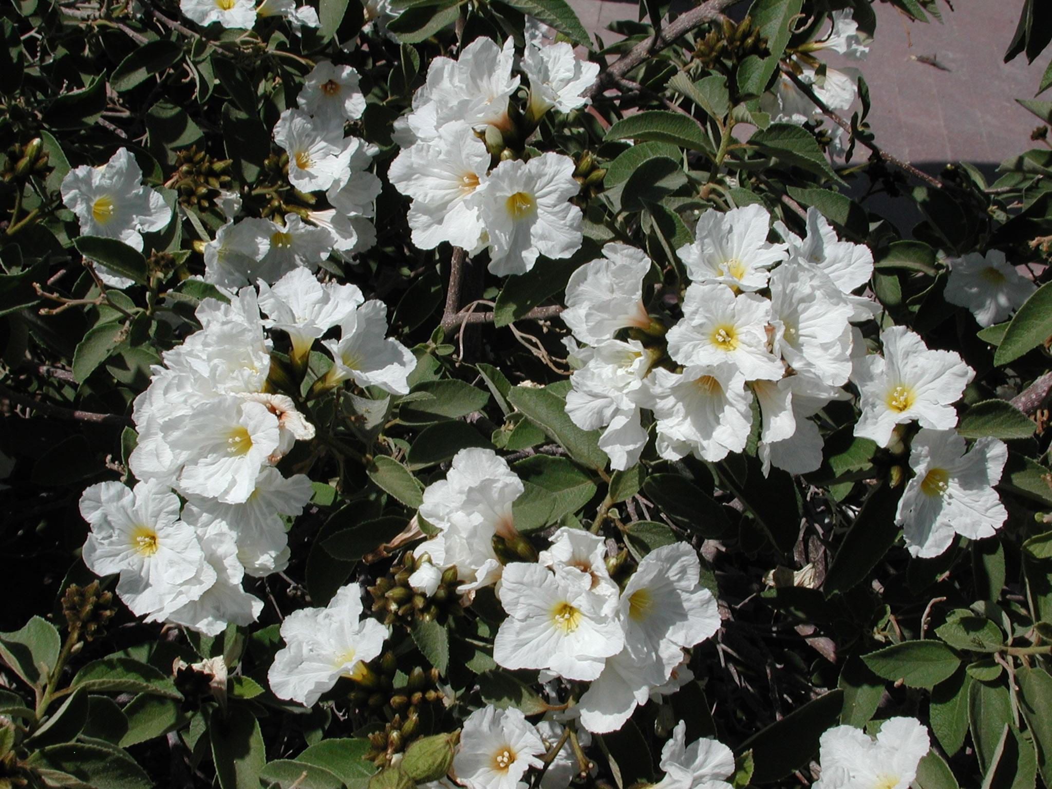 Spring Blooms University Of Arizona Campus Arboretum